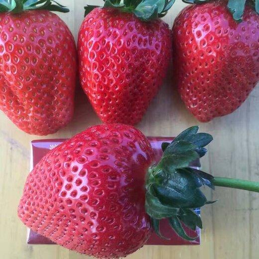 河西美王四季草莓苗便宜基地