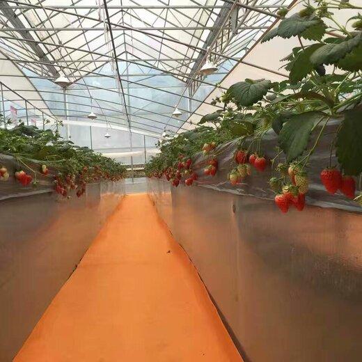 河西妙香3号草莓苗咨询来电