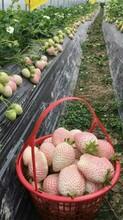 防城港京藏香草莓苗求购