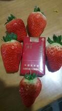 和田红珍珠草莓苗报价一览表