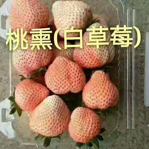 防城港圣诞红草莓苗销售