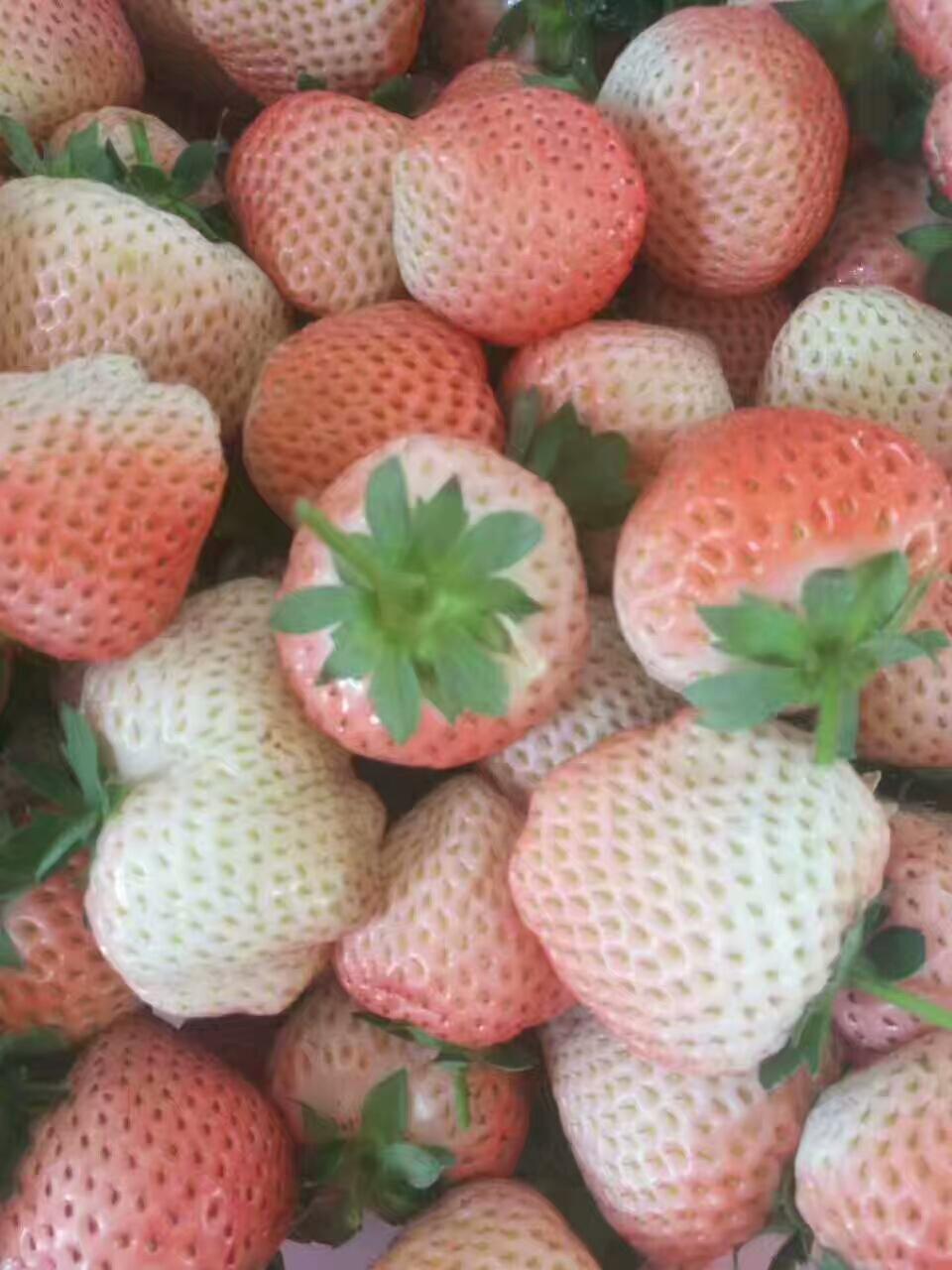 石景山甜查理草莓苗销售中心