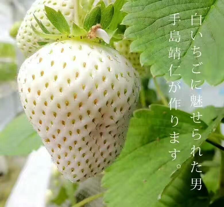 中卫章姬草莓苗种植技术