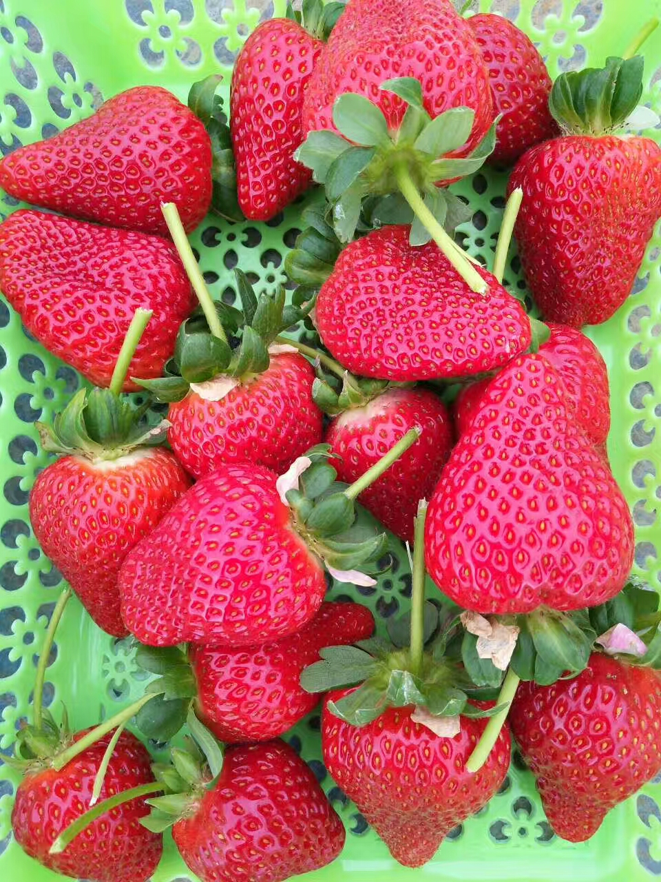 石景山隋珠草莓苗便宜价格