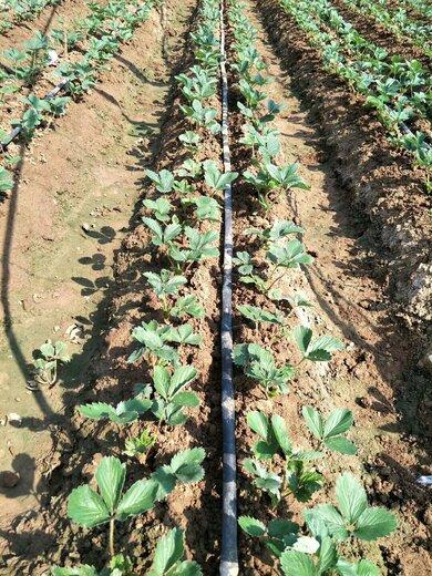和田玛利亚草莓苗标准价格