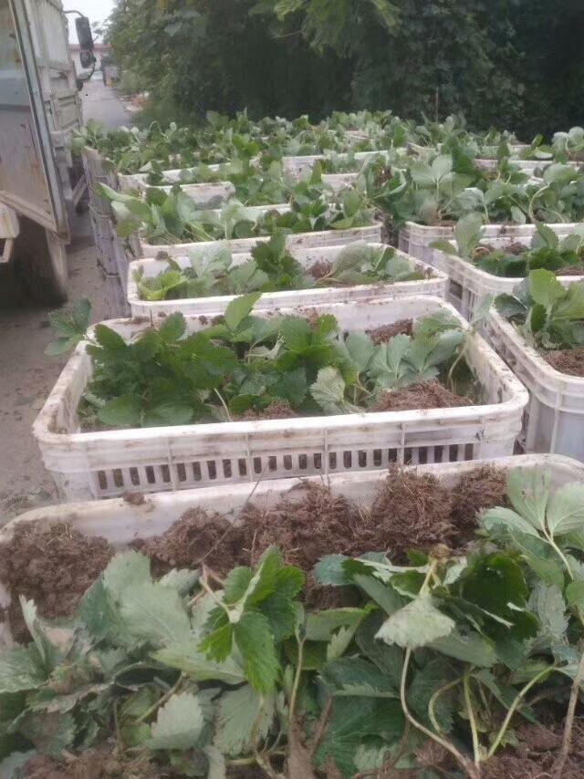 中卫土特拉草莓苗供应