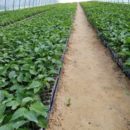 中卫奶油草莓苗几年结果