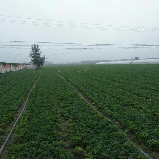 中卫小白草莓苗价格
