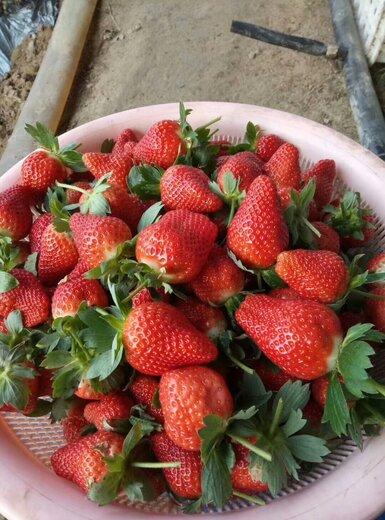 河西全明星草莓苗价格