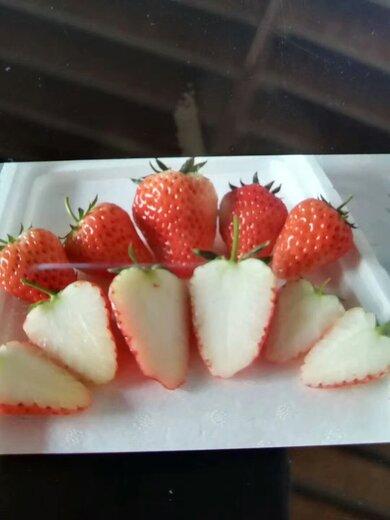中卫吉早红草莓苗培育基地