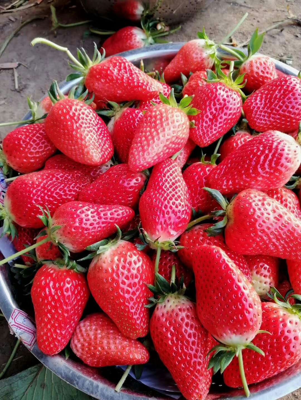 河西丰香草莓苗定苗热线