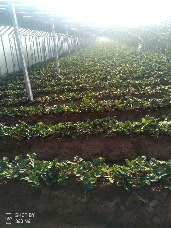 石景山玛利亚草莓苗批发
