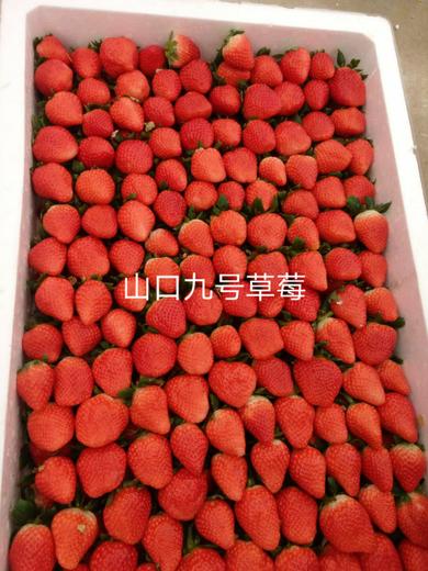 防城港夏秋草莓草莓苗供应商
