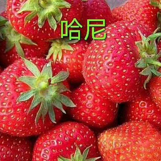 中卫晶玉草莓苗品种展示