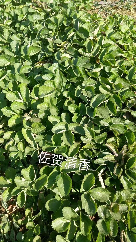 乌海天线剑草莓苗批发种植销售