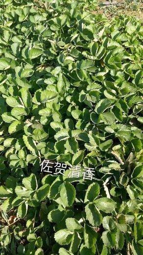 平谷佼姬草莓苗价格
