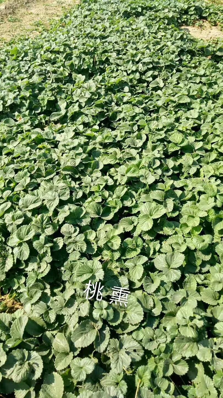 乌海天仙醉草莓苗的特性
