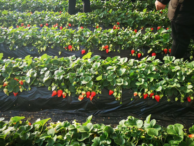 河西佐贺清香草莓苗批发基地