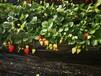 河西弗吉尼亚草莓苗今年报价