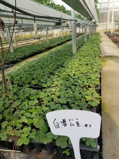 防城港拉松6号草莓苗便宜培育基地