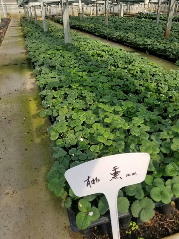 防城港小白草莓苗
