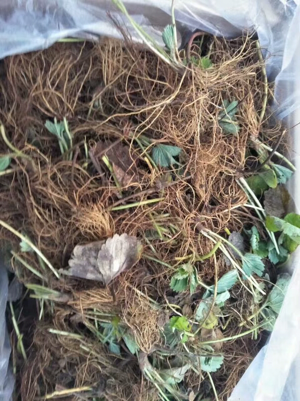 平谷圣安德瑞斯草莓苗产地