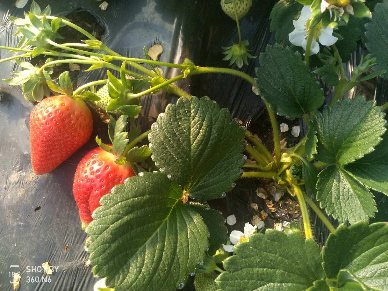 石景山紫金香玉草莓苗