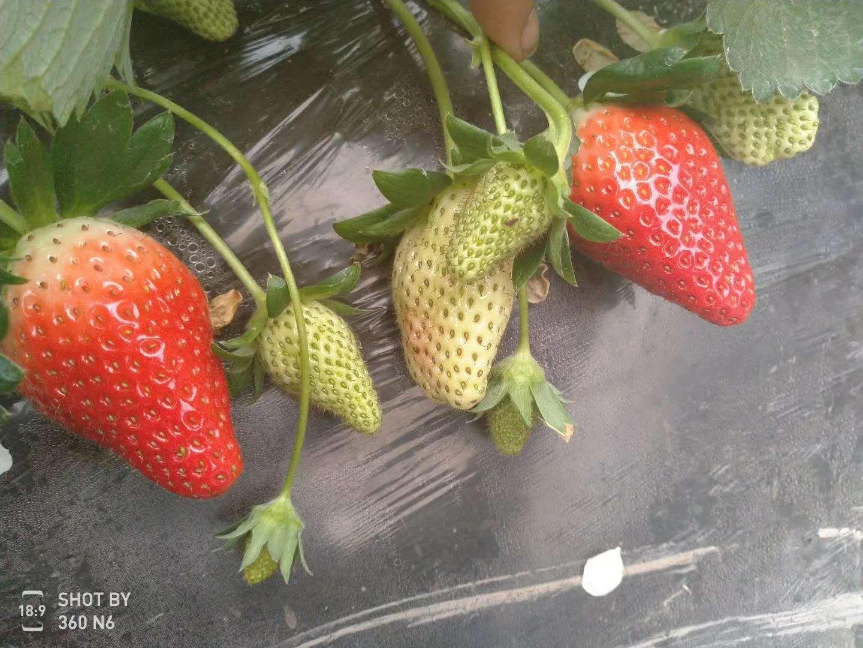 河西香蕉草莓苗销售中心