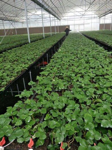 乌海才宝草莓苗今年价格
