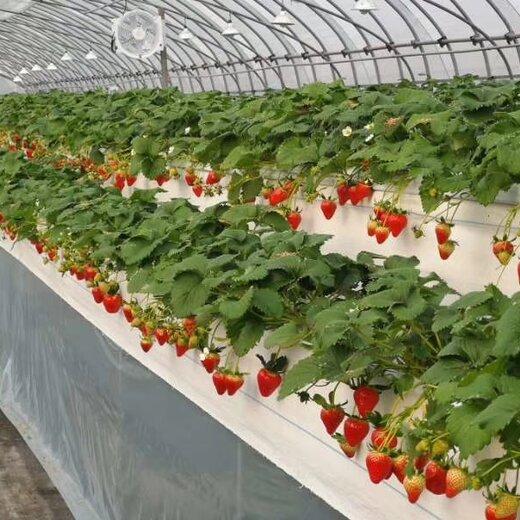 平谷哈尼草莓苗销售