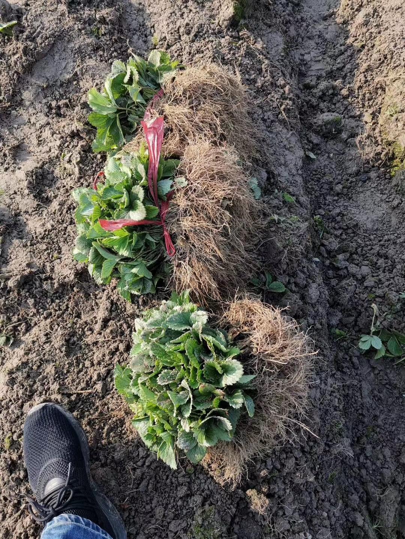 平谷菠萝草莓苗基地