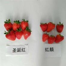 平谷菠萝草莓苗培育基地