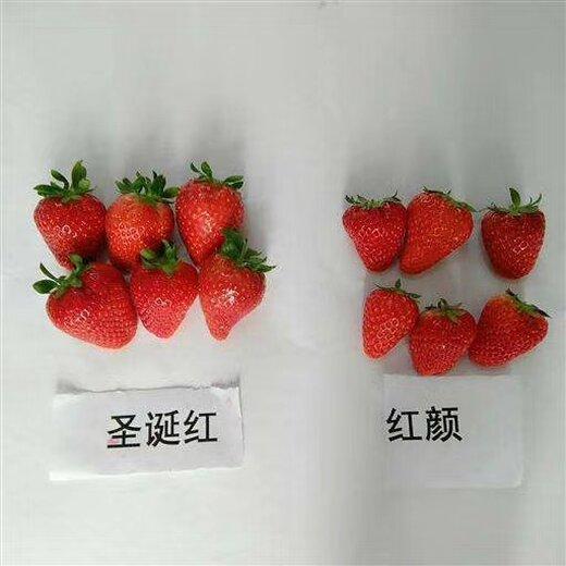 和田红颊草莓苗产地