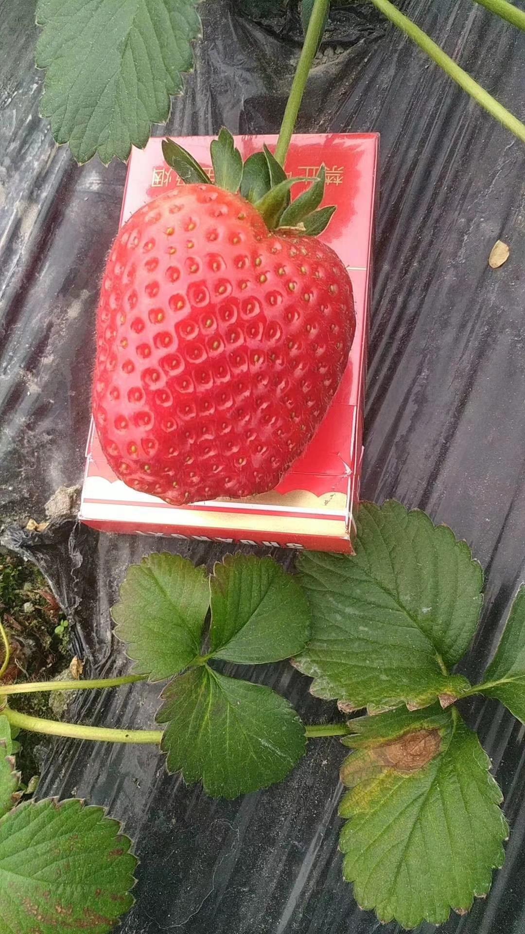 和田蒙特瑞草莓苗供应商