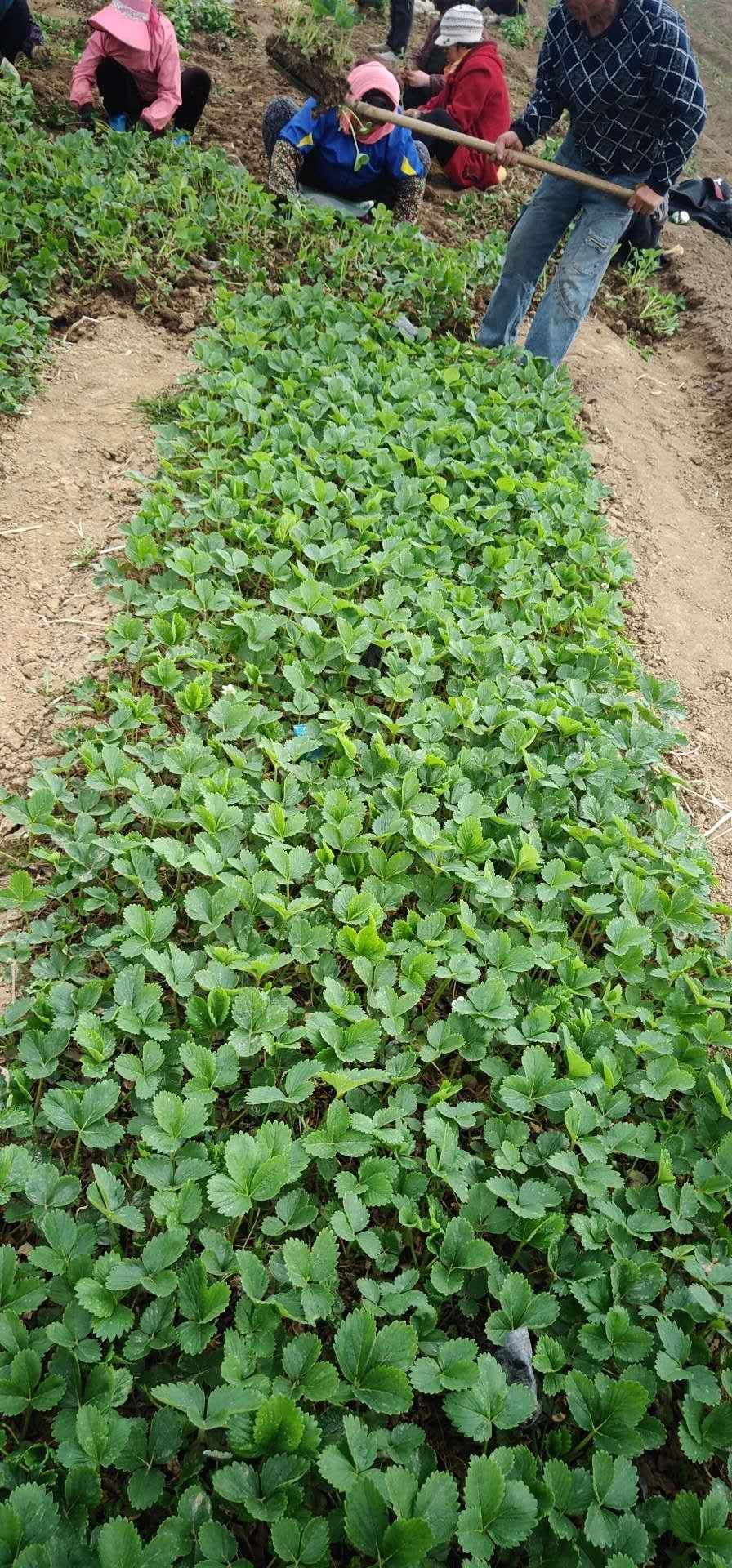 乌海中莓1号草莓苗几年结果