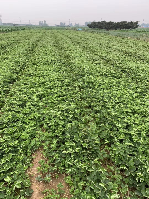 平谷香草草莓苗产地