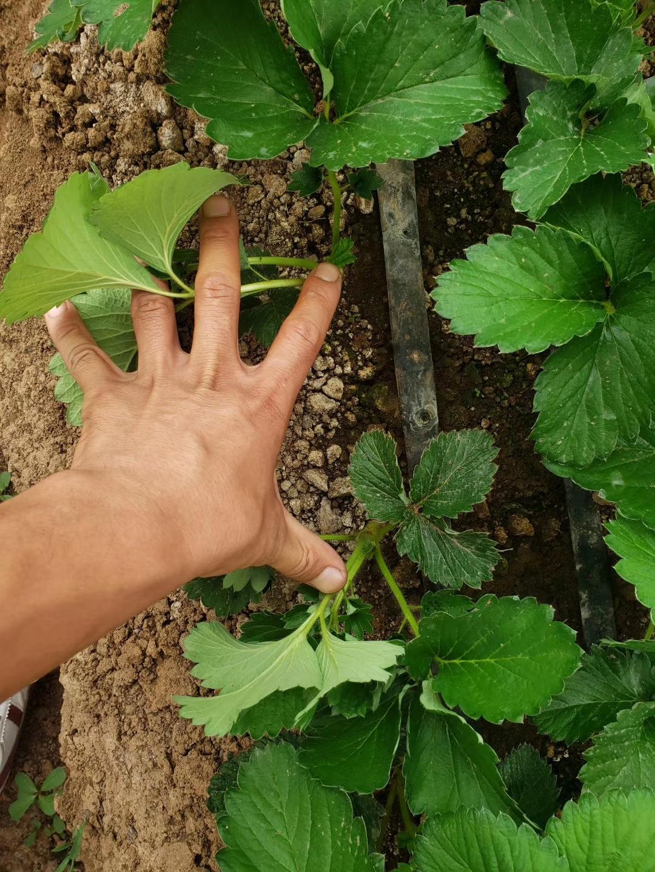 河西红颊草莓苗批发基地