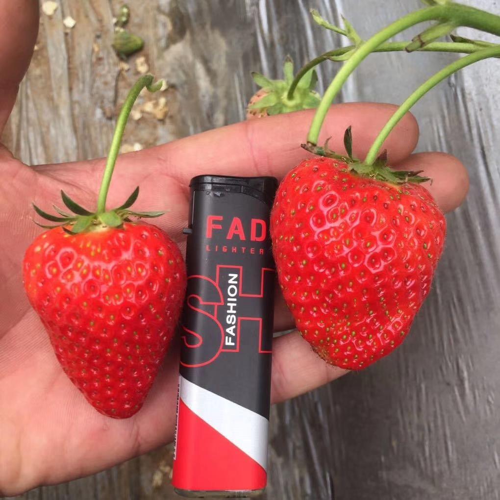 河西美十三草莓苗现在价格