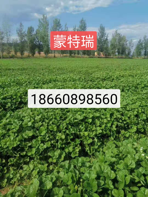 乌海哈尼草莓苗培育基地