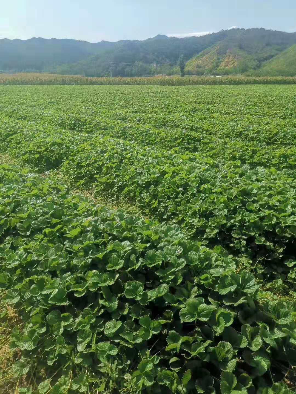和田越丽草莓苗育苗