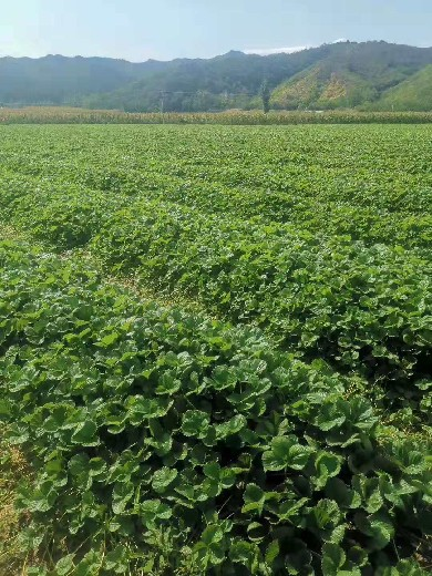 河西美十三草莓苗技术管理