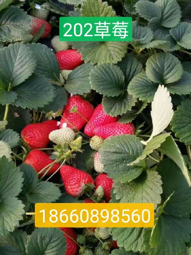 中卫营养杯草莓苗供应