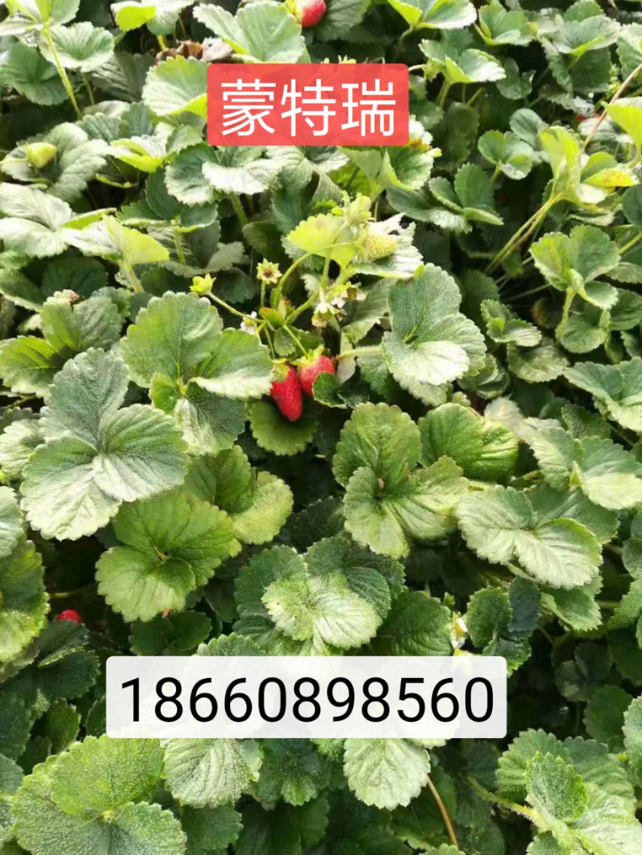河西巧克力草莓苗幼苗