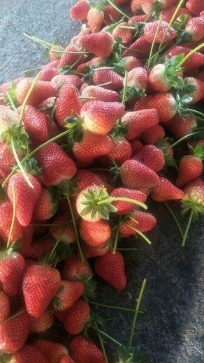 河西财宝草莓苗新报价