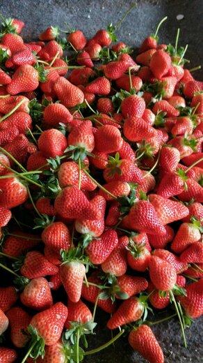 和田佼姬草莓苗培育基地