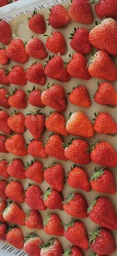 乌海京郊小白草莓苗幼苗