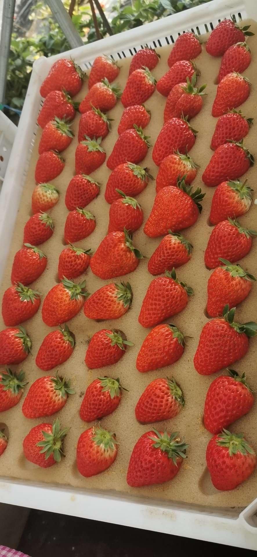 中卫吉早红草莓苗的特性