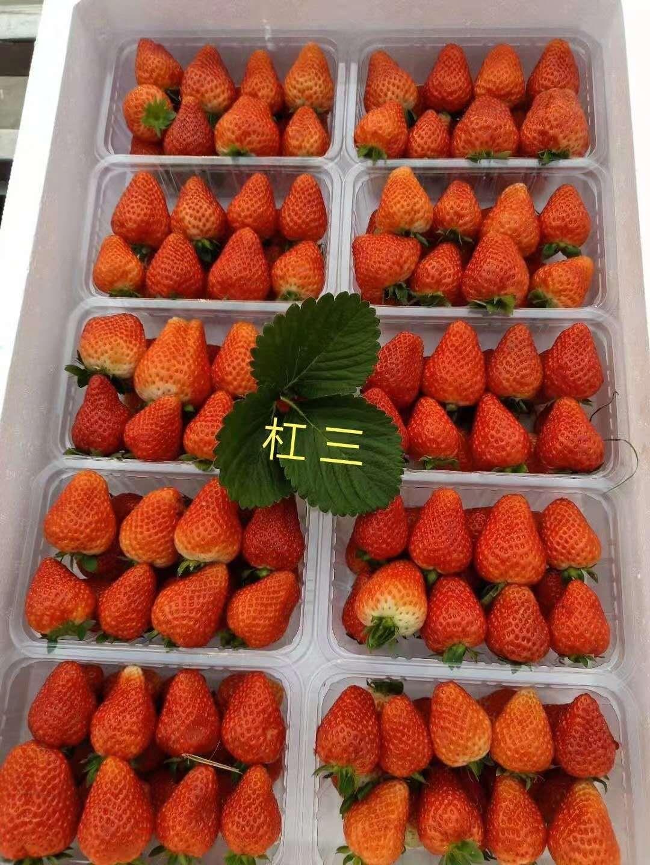 和田巧克力草莓苗种植技术
