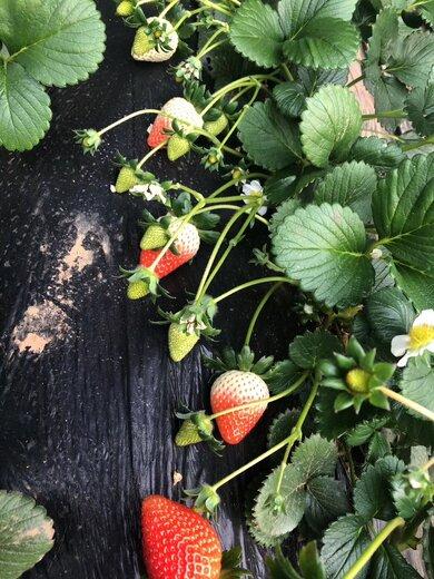 防城港醉飞草莓苗标准价格