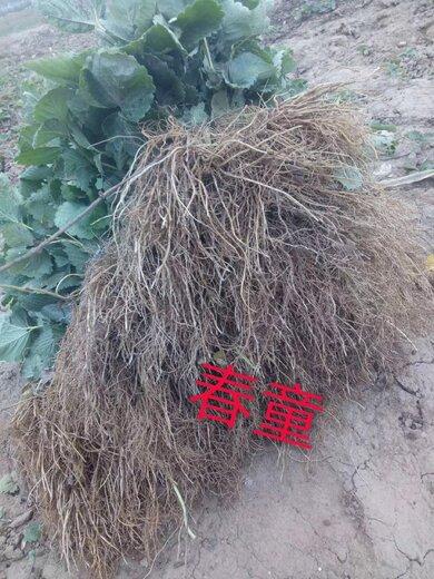 平谷鲁旺草莓苗基地